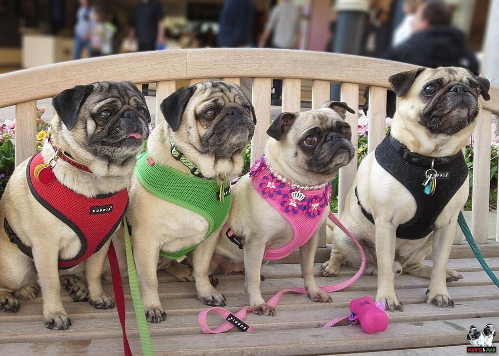 Minnie & Max the Pugs on Pugs, Pets, Pekingese