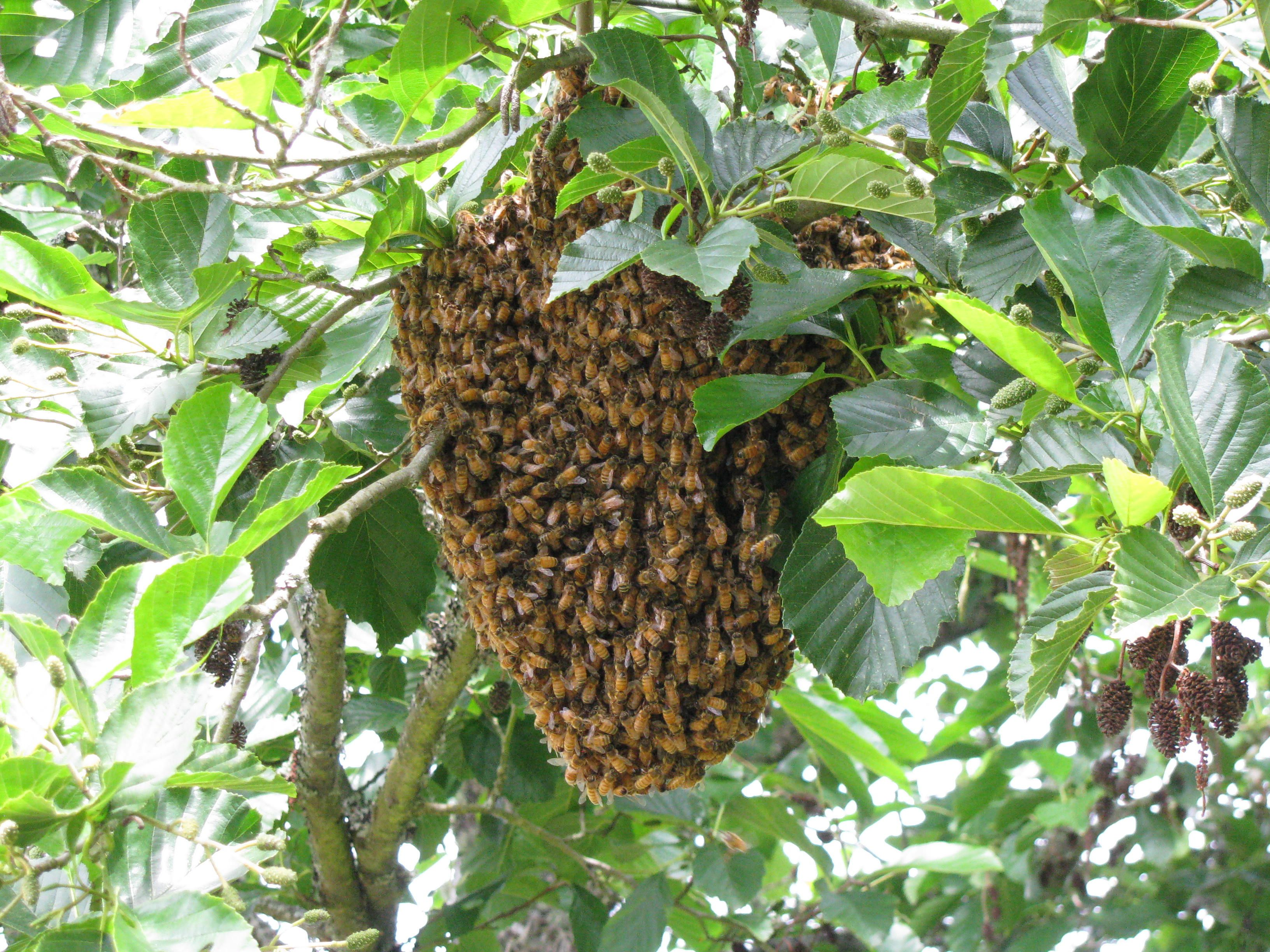 a honey bee swarm occurs when a queen bee leaves the hive and