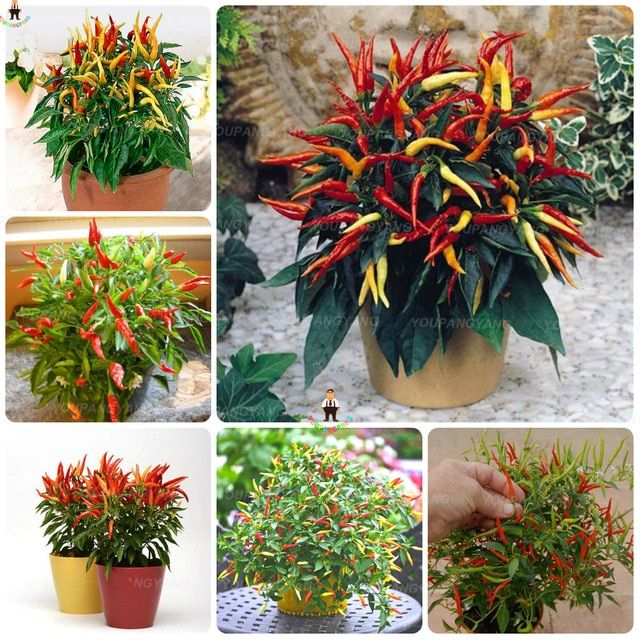 Lowest Price!100Pcs 24 Kinds to choose Hot chilli Pepper