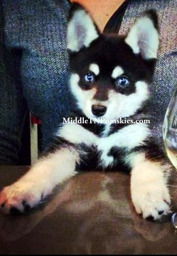 Pin By Karen Smith On Pomskies Pomsky Puppies And Adult Dogs