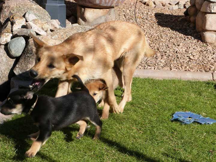 chinnock dog photo | chinook dog