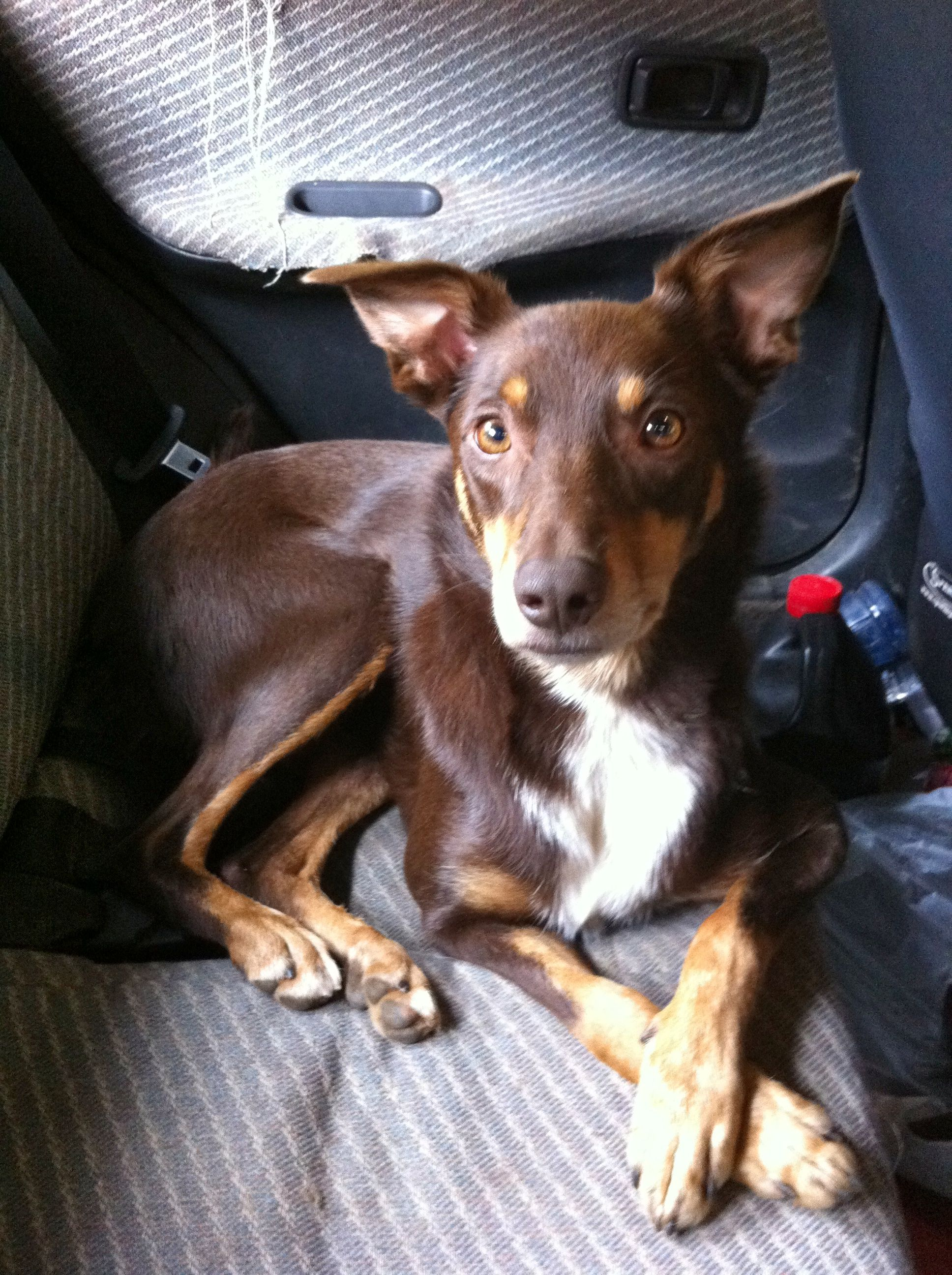 Brandy Hi I Call Brandy My Red And Tan Kelpie Cross A Freakazoid As He Can Be Quite Nervous Around Different Things If I Didn T Put Losing A Dog