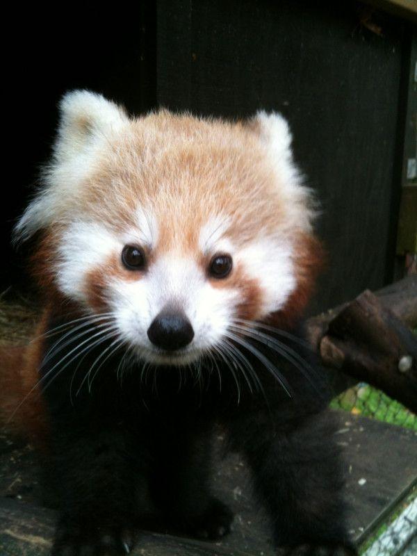 b b panda roux trop mignon pandas roux pinterest b b panda panda et bebe. Black Bedroom Furniture Sets. Home Design Ideas