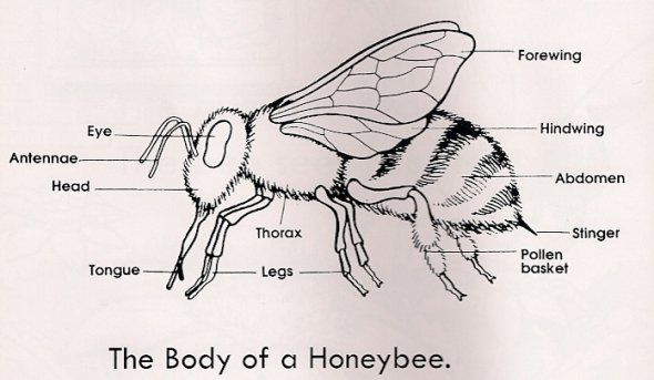 honey bee anatomy poster - Google Search   Bees   Pinterest