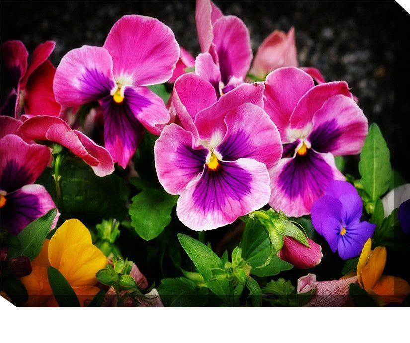 Pansies Outdoor Canvas Art Pansies Flowers Flowers Pansies