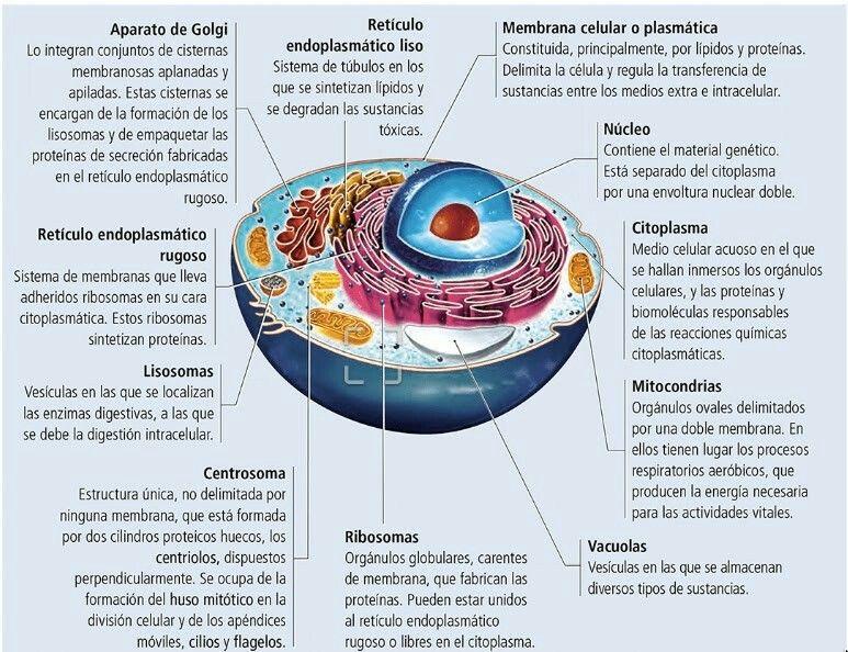 Pin De Pilar Ruiz En Biologia Humana Enseñanza Biología