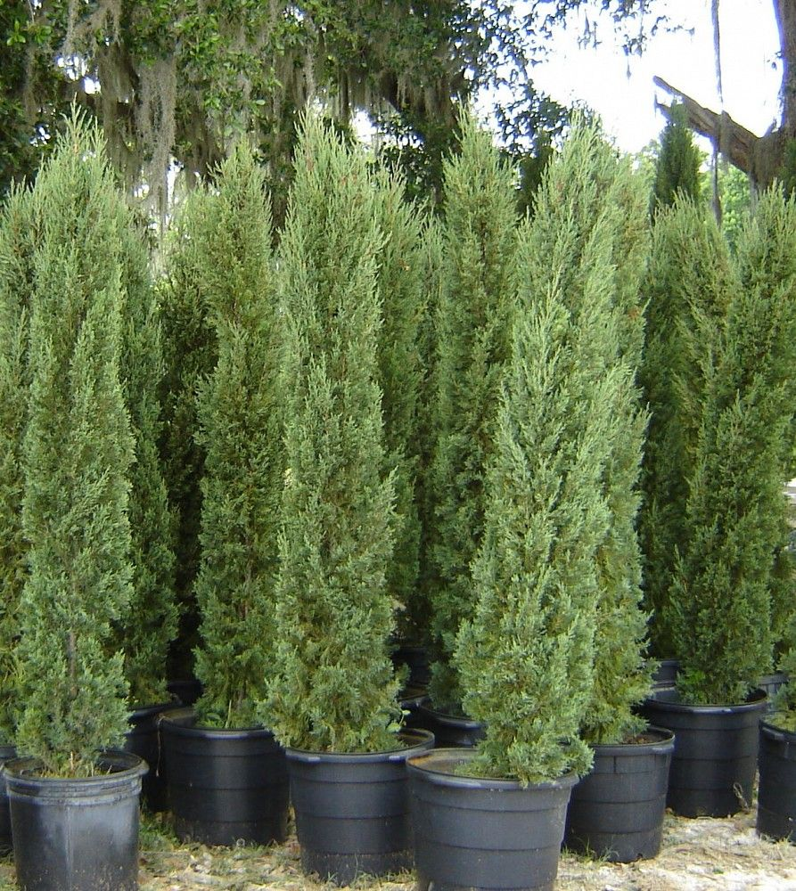 Cheap Plants That Grow Fast: Italian Cypress Trees / I Absolutely Love These Trees