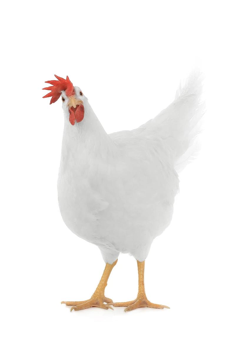 White Star Chicken breeds, Animals, Blue eggs