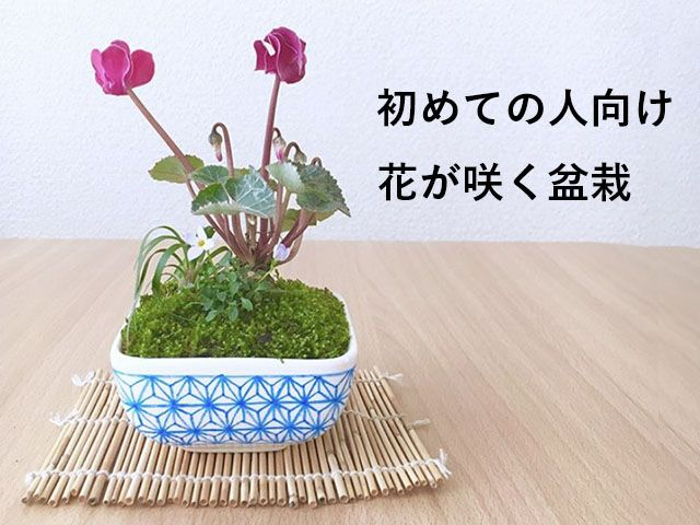 盆栽の中でも人気が高く魅力的なものが、花が咲く盆栽です。今回は、育てやすく盆栽としても育てやすい植物を5つご紹介します!