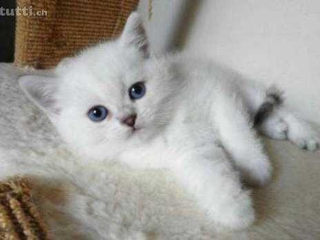 BKH Britisch Kurzhaar Kitten Colour Point & Silver Shaded