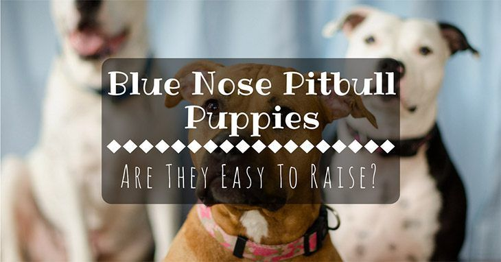 Are Blue Nose Pitbull Puppies Easy To Raise What You Should Know Blue Nose Pitbull Puppies Pitbull Puppies Blue Nose Pitbull