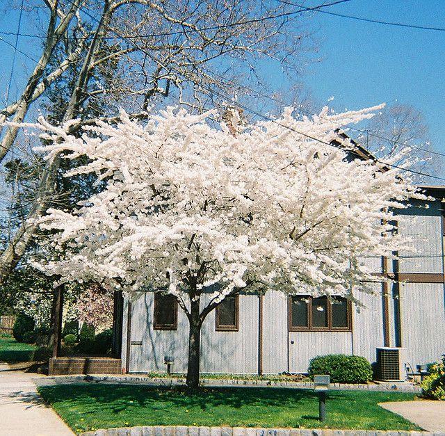 White Cherry Blossom Tree White Cherry Blossom Cherry Blossom Tree Crabapple Tree