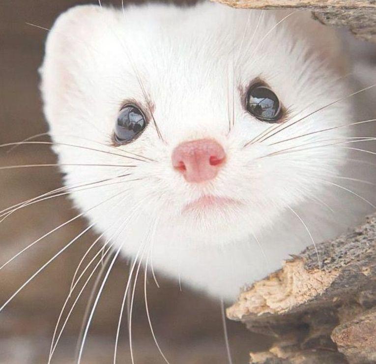 Ferret Weasel Minkferret Weasel Mink Albino Animals Cute Ferrets Cute Funny Animals