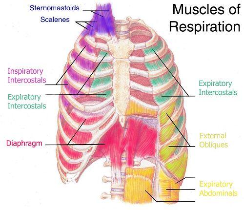 Rib Cage Muscular Diagram Block And Schematic Diagrams