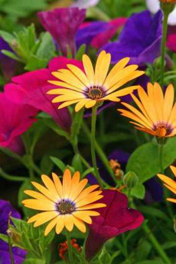 Define Herbaceous Perennial Plants Uzun Yasayan Bitkiler Gerbera Bitki