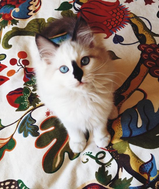 Blue Lynx Mitted Ragdoll Cat Trigg Meowing and Smelling