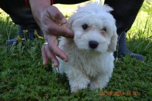 Cavoodle Puppies For Sale In Melbourne Puppies Puppies For Sale Dogs