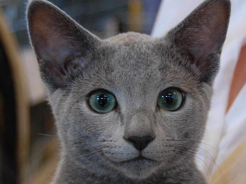 HD Russian Blue Cat Russian Blue Cat wallpaper Кошки