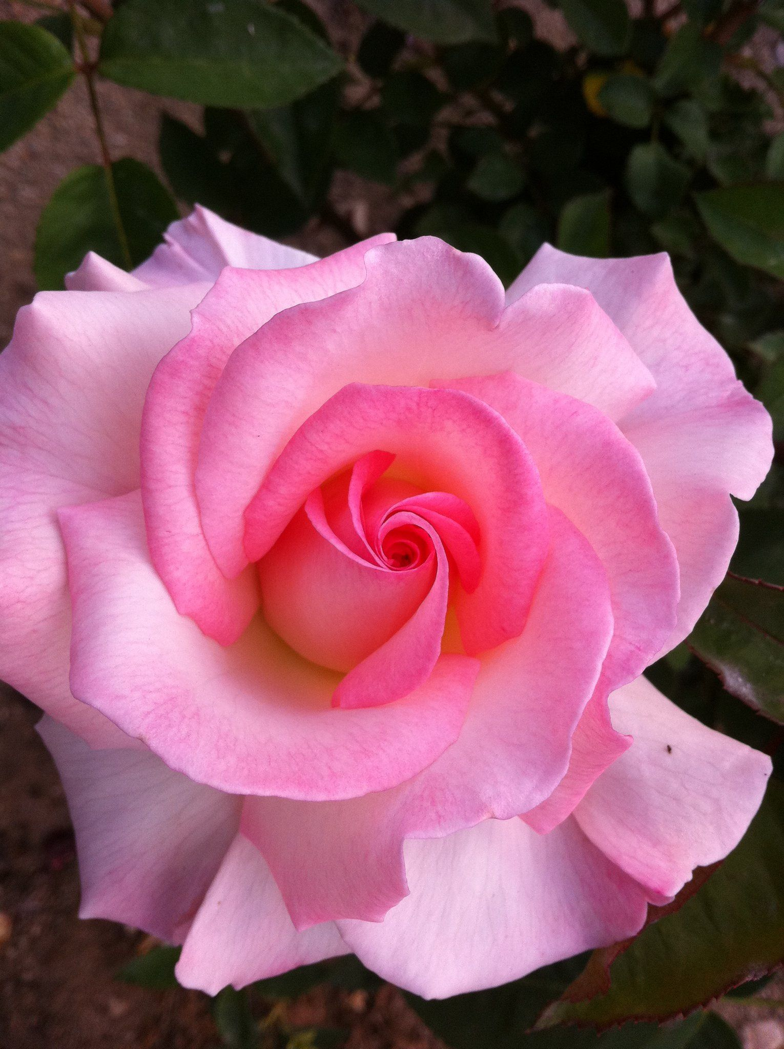Pink rose at glendale rose gardens 2011 flower therapy pink rose at glendale rose gardens 2011 izmirmasajfo