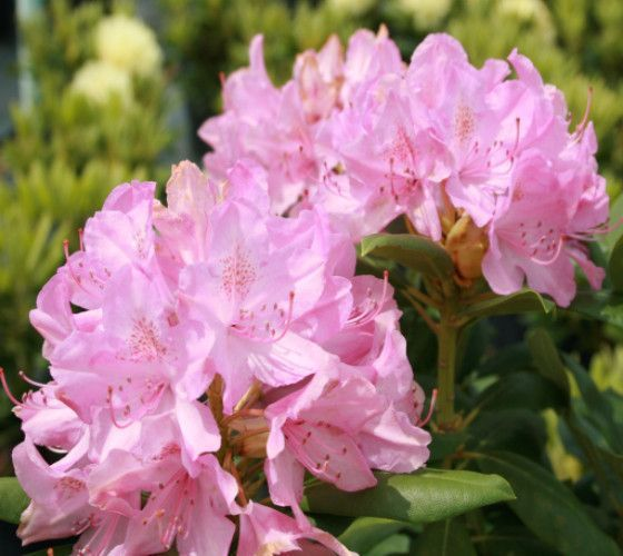 Roseum Pink Rhododendron rhododendron roseum pink The 'Roseum Pink' Rhododendron, Rhododendron 'Roseum Pink', produces a beautiful array of rosy-pink flowers in May against dense, smooth foliage. It i