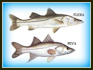 Robalo Flexa e Robalo Peva. A principal diferença entre os dois está no formato e tamanho dos peixes. O flecha atinge cerca de 25 kg, é mais alongado, tem as nadadeiras mais amareladas e a linha lateral mais escura. Já o peva tem o corpo mais alto, as nadadeiras mais acinzentadas e atinge cerca de 4 kg.