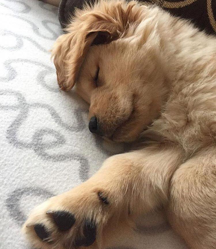 Photo of The Intelligent Golden Retriever Dog Health #goldenretrieverpup #goldenretriever…