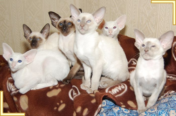 Pin By Linda Woods On I Want A Siamese Cat And I Want Two Cats