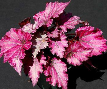 Kartuz Greenhouses Begonia Satin Jazz Begonia Perennial Flowering Plants Plants