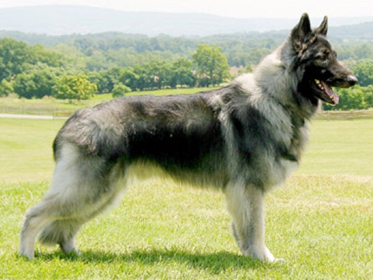 Another Problem With The Coppinger Model Shiloh Shepherd Dog
