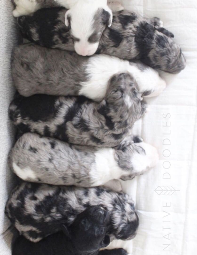 Old English Sheepdog Puppies For Sale Northern Ireland Ideas