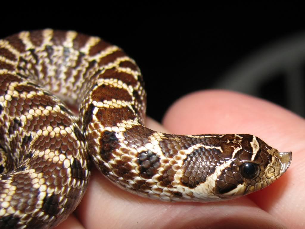 The Best Pet Snake For A Beginner Pet Snake Hognose Snake Snake