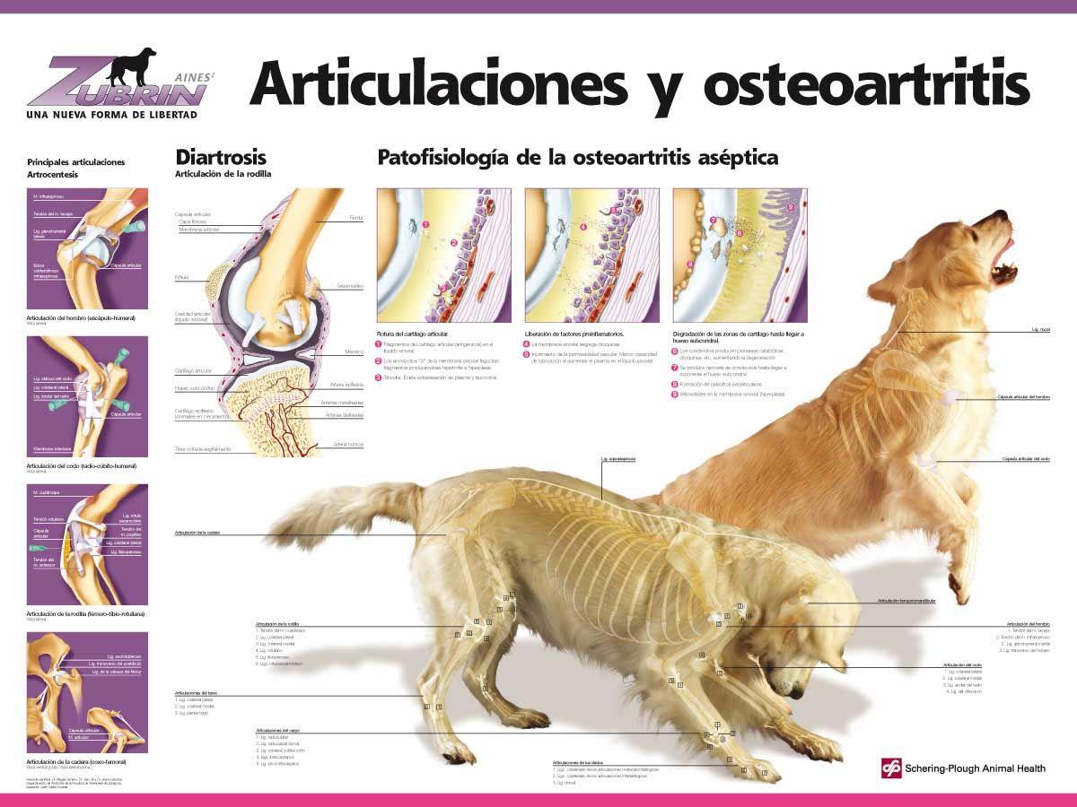 Ariculaciones y osteoartritis #veterinario #saludcanina #infografía ...