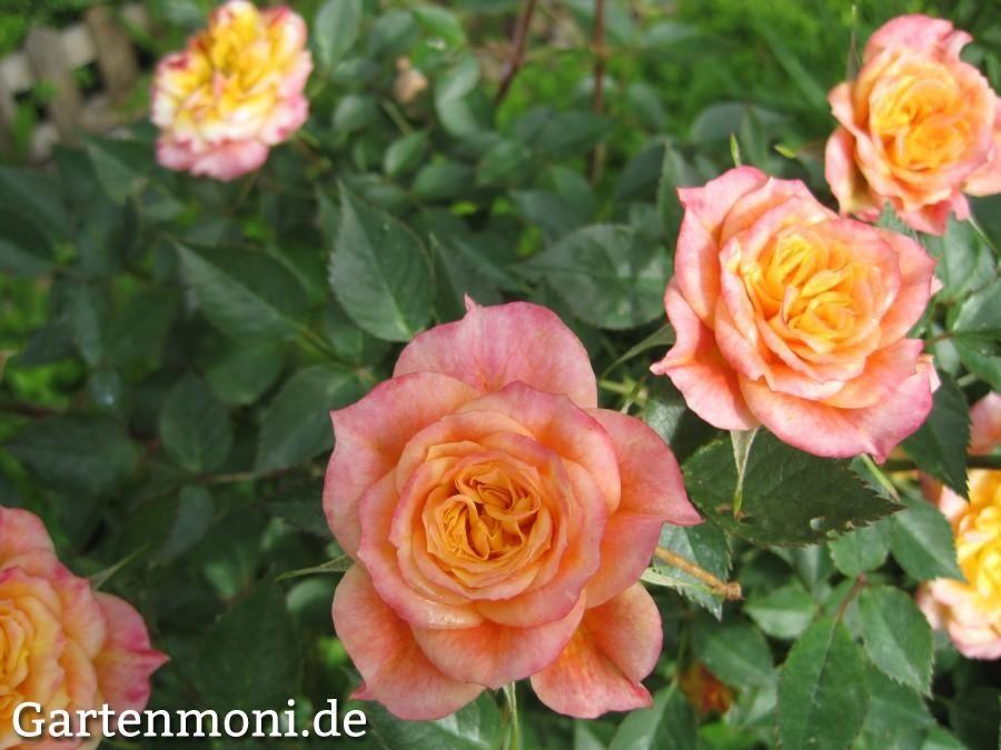 die besten 25 blattl use rosen ideen auf pinterest blattl use an rosen rosen l use und l use. Black Bedroom Furniture Sets. Home Design Ideas