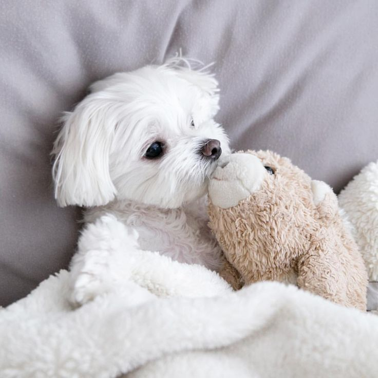 puppy and stuffed animal (With images) Maltese dogs