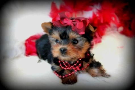Parti Colored Yorkies For Sale Parti Yorkies Are Priced Accordinly Chien Animaux
