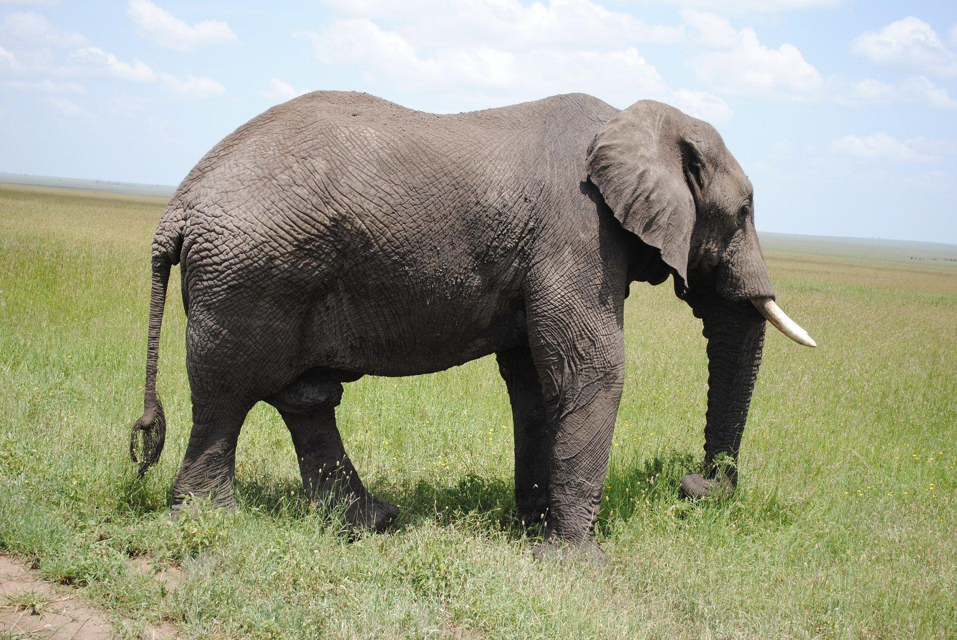 elefante, colmillos, libertad, serengueti, tanzania, 1704241755 ...