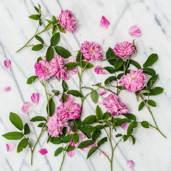 Pink and White Striped Roses on Marble Floral by ShopHedgerowRose