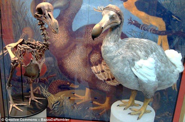 The dodo only lived on the island of Mauritius and was a flightless bird about…
