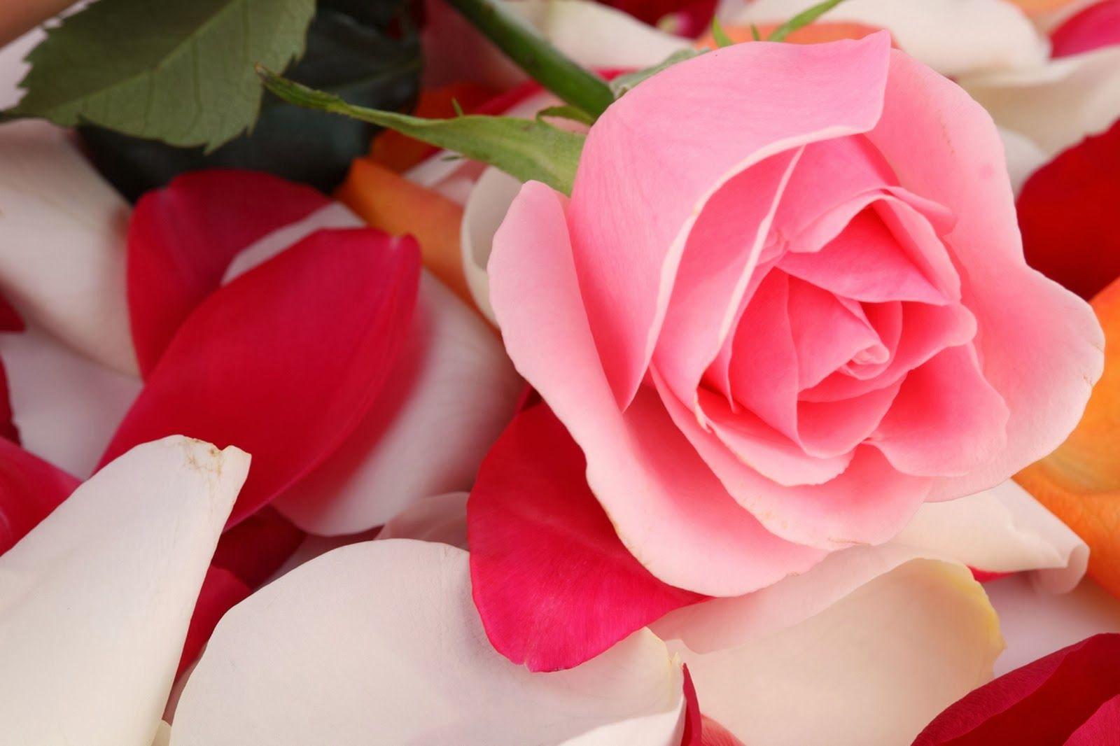 Wallpaper Foto Dan Gambar Bunga Cantik Untuk Laptop Satria Baja Hitam Rose Wallpaper Flower Wallpaper Rose Flower