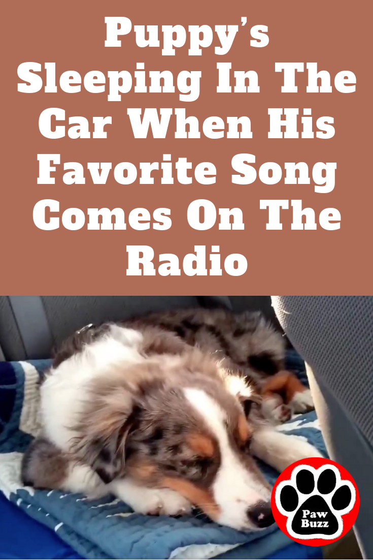 Puppy S Sleeping In The Car When His Favorite Song Comes On The Radio Sleeping Puppies Puppies I Love Dogs