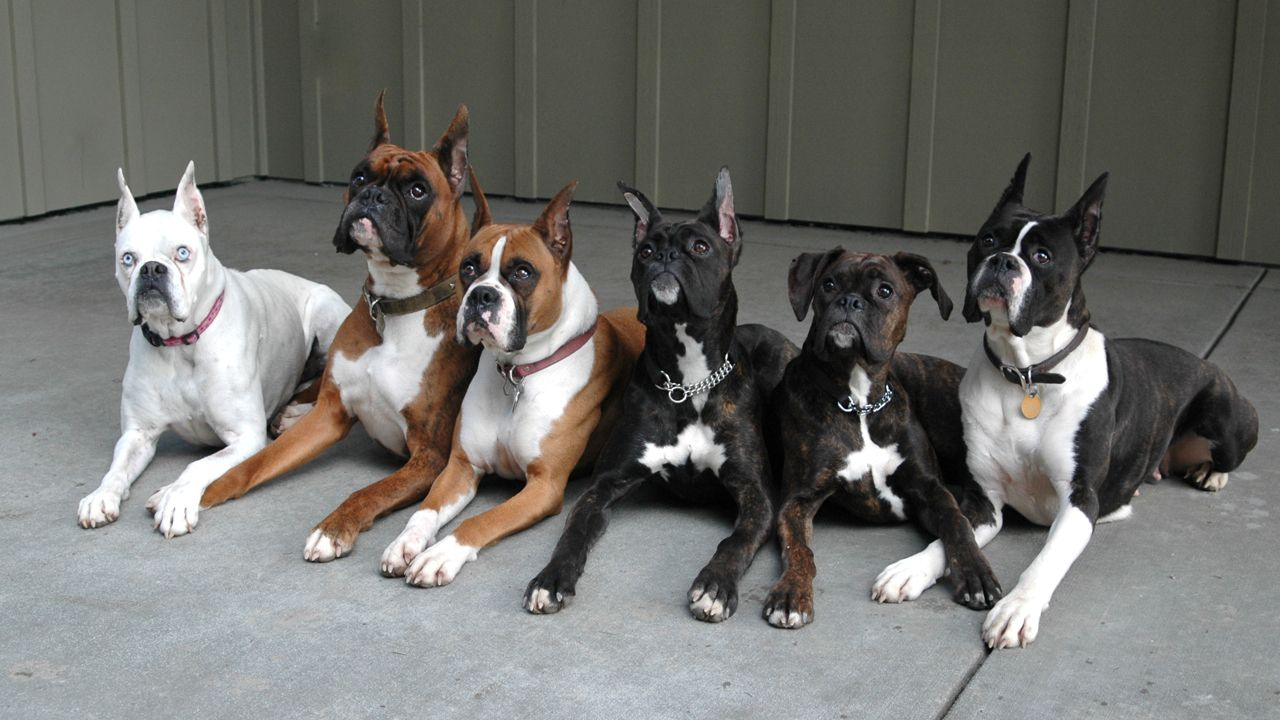 Everlast Boxers Champions Of The Breed Boxer Dogs Funny Boxer Dogs Boxer Breed