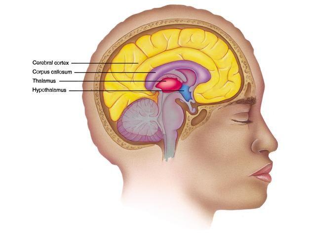 Anatomy Cerebral Cortex Corpus Collosum Thalamus Hypothalamus