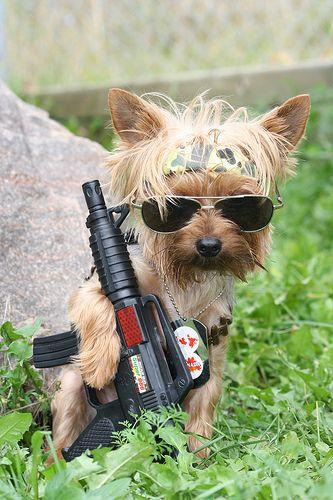 Yorkie Rambo