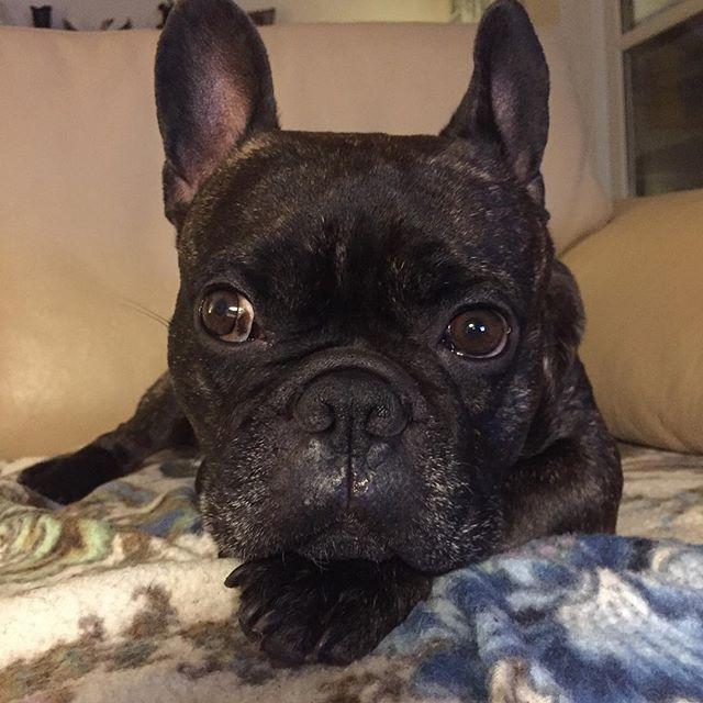 Dejlige dyr #frenchie #frenchies #frenchielove #frenchbulldog #instadog #instadaily #instafrenchie #dog #bulldog #frenchiesociety #frenchieoftheday