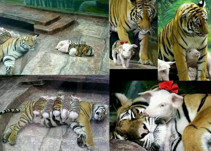 Tigers taking care of piglets in Thailand Zoo. Too cool...