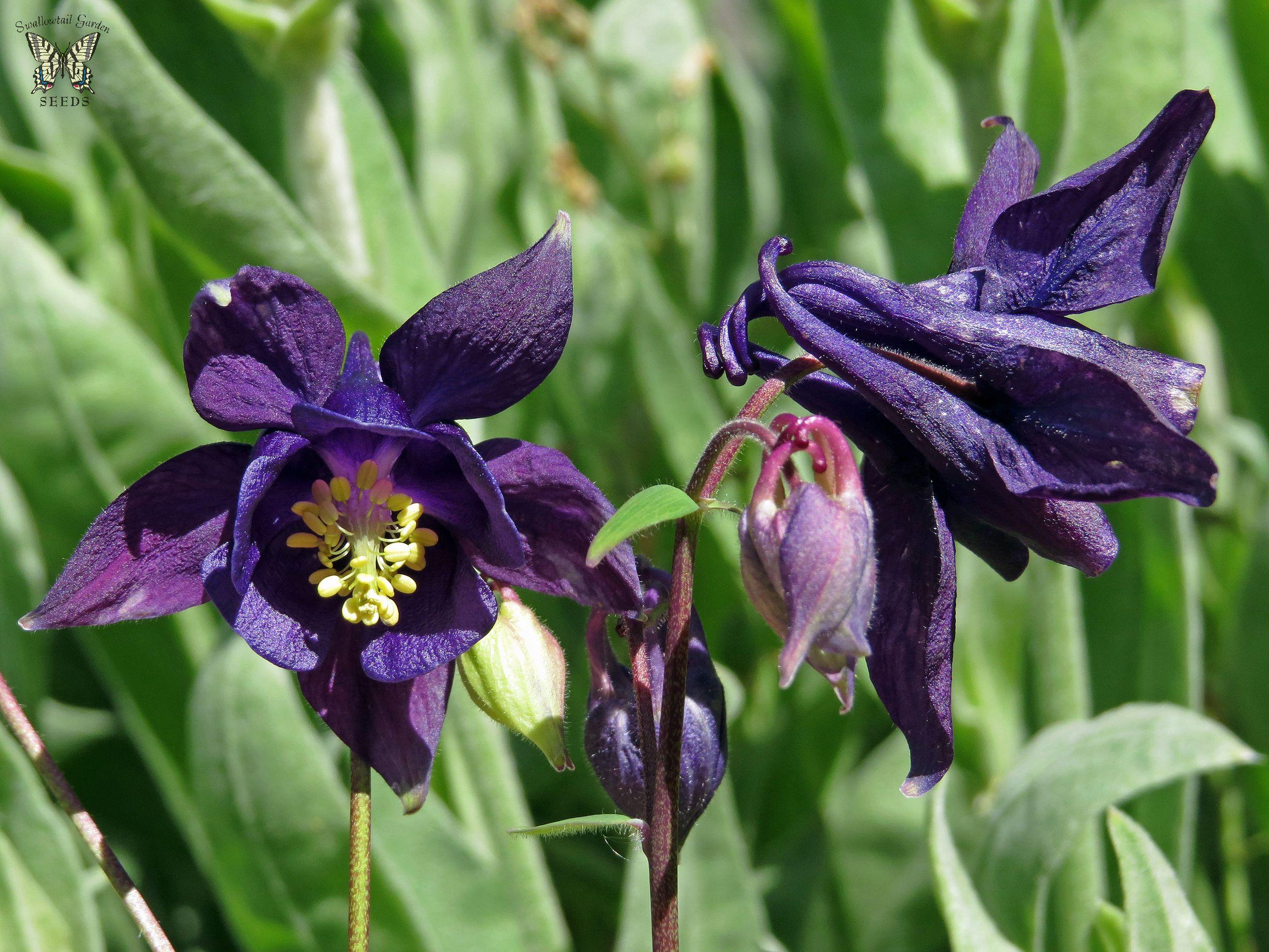 Dark purple columbine perennial flowers pinterest flowers dark purple columbine flowers izmirmasajfo