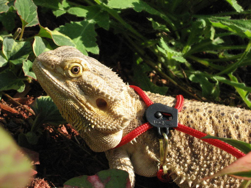 Hamster Harnesses And Leashes | dragons | Pinterest | Bearded dragon