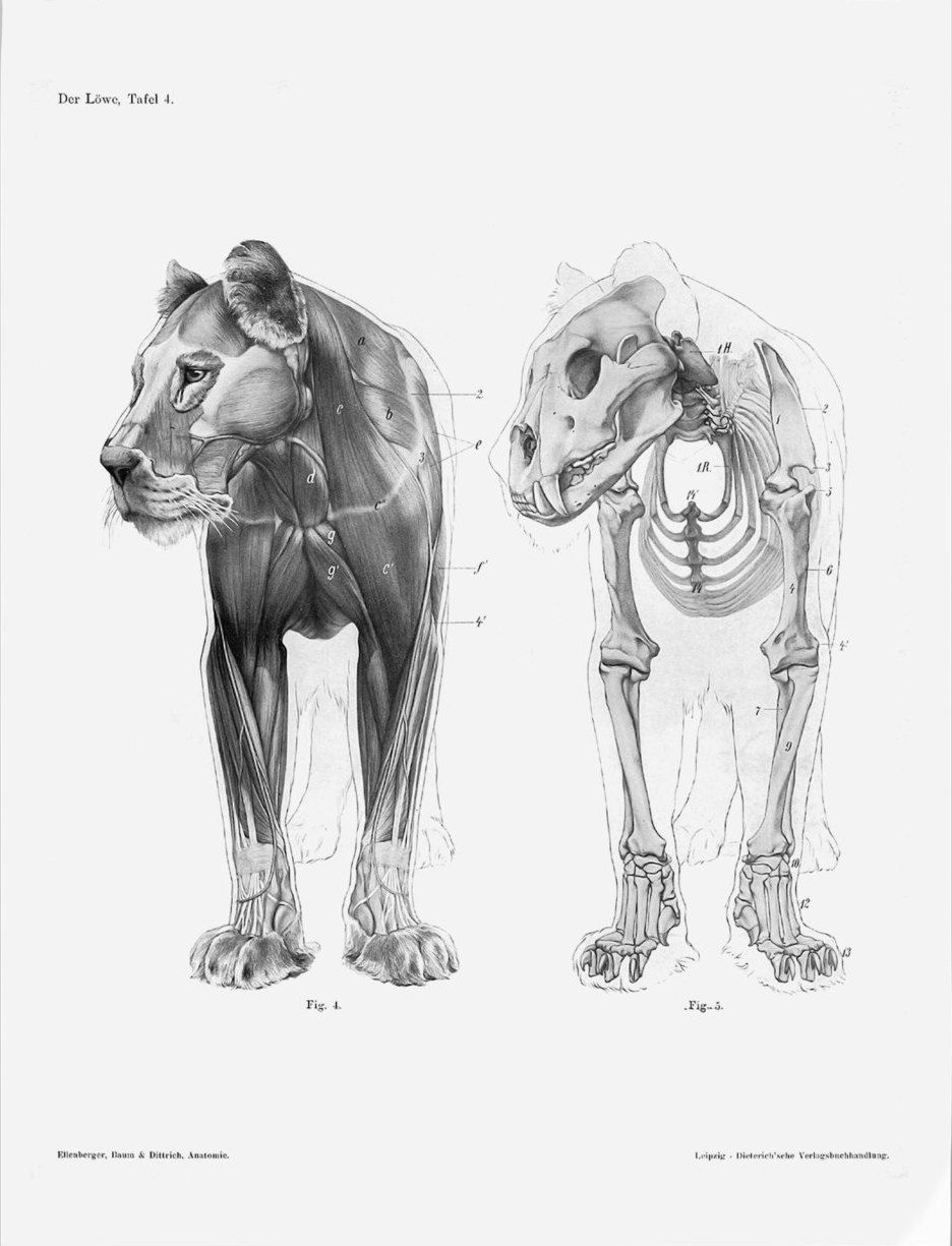Pin By Marloroberts On Lion Lion Anatomy Anatomy Draw