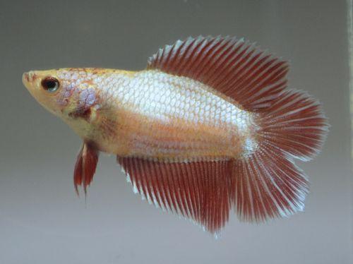 Red Dragon Double Tail Female Betta Betta Aquarium Fish Tailed
