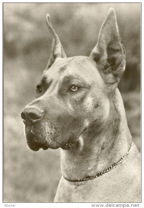 Great Dane Grand Danois Dogge Hunde Cane Old Dog Postcard Cpa